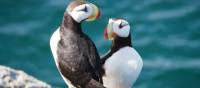Prolific birdlife can be found along Russia's far eastern coastline including Puffins | ©MKelly