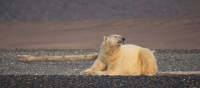 Polar bear soaking up some rays on Wrangel Island | Rachel Imber