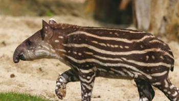 Tapirs can be observed in the Brazilian Pantanal