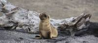 Baby sea lion on the sandy shores of Galapagos Islands | Ken Harris