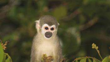The squirell monkey lives in the forest treetops, often in groups as large as 100 monkeys