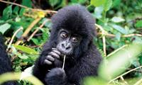 Cute face of an infant mountain gorilla in Volcanoes National Park Rwanda. Image credit: Gus Cheung