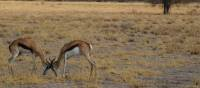 Local Gazelles in the open grasslands of Central Kalahari Game Reserve | Ashley Hewson
