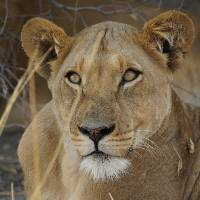 Up close and personal with Lions on the Central Kalahari Game Reserve |  <i>Ashley Hewson</i>