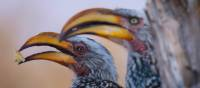 A pair of Southern yellow-billed hornbill in Chobe National Park | Jez Hollinshead