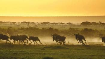 The wildebeest run from a hyena as the sun rises over the savannah | David Lazar