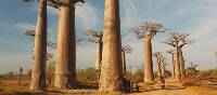 Huge baobab trees | Chris Buykx