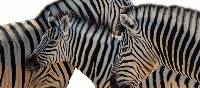 Zebra in Etosha National Park | Peter Walton