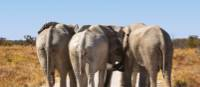 Elephants from behind in Etosha National Park | Peter Walton