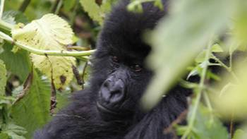 Rwanda is the home to one third of the worlds remaining Mountain Gorillas | Ian Williams