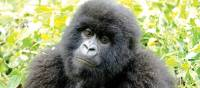 Up close and personal with a curious mountain gorilla | Gesine Cheung