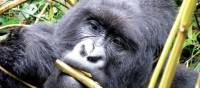 A mountain gorilla enjoys a snack in the sunshine | Gesine Cheung