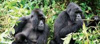 Local mountain gorilla's go about their daily business | Gesine Cheung