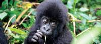 Cute face of an infant mountain gorilla in Rwanda | Gesine Cheung
