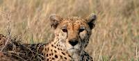 A cheetah keeps a watchful eye | Ian Williams
