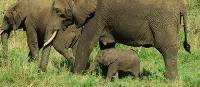 Family of elephants strolls quietly through the thicket | Sue Badyari