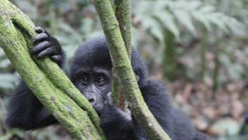 Curious young gorilla in Bwindi National Park | Ian Williams