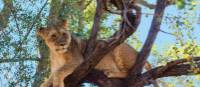 Tree climbing lion relaxing in Zimbabwe | Peter Walton