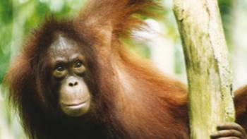 Young orangutan on the Red Ape Trail | Kate Baker