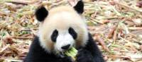Curious little Panda enjoying a snack | Alana Johnstone
