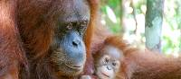 A mother Orangutan with her baby
