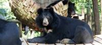 Sun bear lazing around at the Free the Bears Sanctuary | Kylie Turner