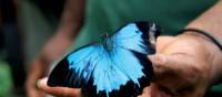 Beautiful butterfly along the Kokoda Track | Ken Harris
