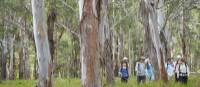 Walking through Eucalyptus forest on the Scenic Rim Walk