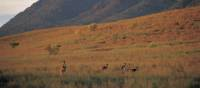 Kangaroos feeding on the grasses surrounding Wilpena Pound | Adam Bruzzone
