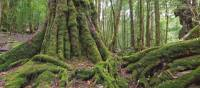 Tasmania's pristine forests are a major draw card for many visitors | Peter Walton