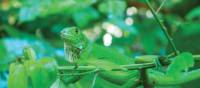 Green iguana blends into the Manuel Antonio national park, Costa Rica | Sophie Panton