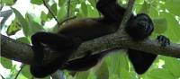 wildlife howler monkey | coast to coast adventures