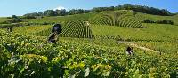 Chardonnay grape harvests in the Champagne vineyard | Olivier Roux
