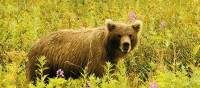 A brown bear in Kamchatka