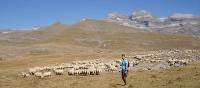 Walker passing sheep in cuello arenas in the Ordessa Valley