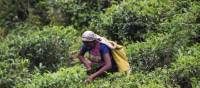 Tea plantations around Puressa, Sri Lanka | Andrew Darby Smith