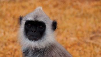Close up of a tufted gray langur | Sophie Panton