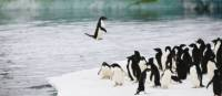 Adelie penguins leaping out of water onto an ice shelf, Commonwealth Bay, Antarctica | Kylie Jones