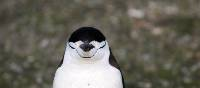 Chinstrap Penguin | Eve Ollington