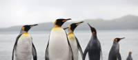 King Penguins on South Georgia | Peter Walton