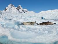 Seals relaxing in the Antarctic sun |  <i>Peter Walton</i>