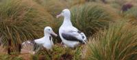 Southern Royal Albatross on Campbell Island, New Zealand | Glenn Dawson