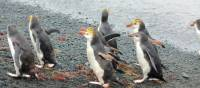 Royal Penguins waddling up the beach | Rachel Imber
