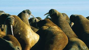 Svalbard is home to an incredible diversity of wildlife, such as the walrus | Al Bakker