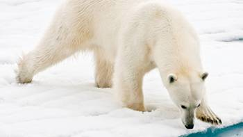 A polar bear at close range in the Arctic | Sue Josephsen