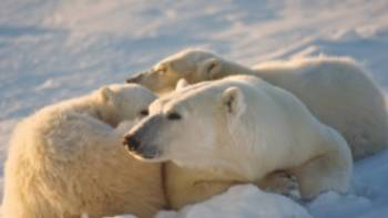 A family of Polar Bears