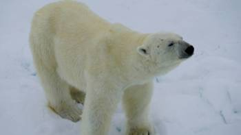 Up close with Polar Bear on the Arctic pack ice | Gesine Cheung