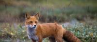 A young Red Fox roams the plains in Kamchatka | MKelly