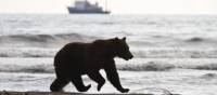 A Kamchatka brown bear enjoys a stroll along the shore of Olga Bay | ©MKelly