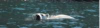 Close encounter with a Polar Bear off Wrangel Island |  <i>©ARuss</i>